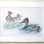 "Freckled Ducks 12""x 8"" Print Australian wildlife wall art with matt frame board"