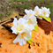 4 X Cherry Blossom Buttonholes