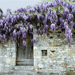 Wisteria Viviers France Greeting Card