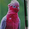 Pink & Grey Galah Notepad with pen