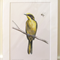"Helmeted Honeyeater 12""x 8"" Wildlife Art Print - yellow Australian bird"