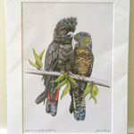 "Red-tailed Black-cockatoo pair, 12""x 8"" Wildlife Art Print"
