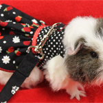 Strawberry and polka dot harness dress for your guinea pig ,rat or small pet