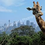 Sydney Giraffe - PHOTO GREETING CARD