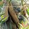 PHOTO GREETING CARD - Koala Australia