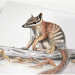 Numbat greeting card Australian wildlife art