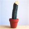 Crochet Cactus - Micranthocereus
