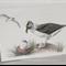 Grey-headed Albatross greeting card Australian wildlife art large sea bird, nest