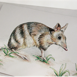 Eastern Barred Bandicoot greeting card Australian wildlife art