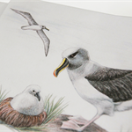 Grey-headed Albatross greeting card Australian wildlife art large sea bird, nest