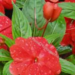 Impatiens Flowers Card
