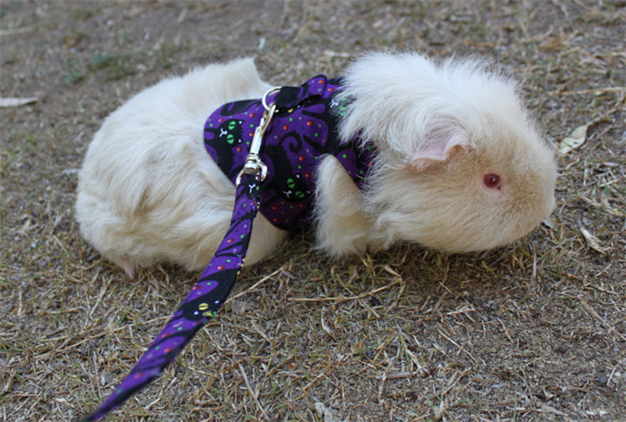Guineapig harness with matching leash small pet clothing miss guineapig harness with matching leash small pet clothing publicscrutiny Image collections